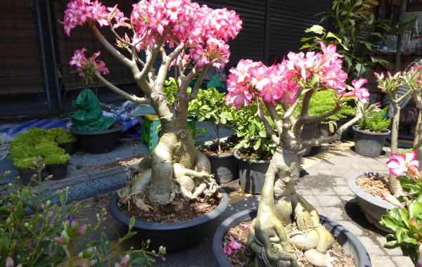 Adenium i Thailand