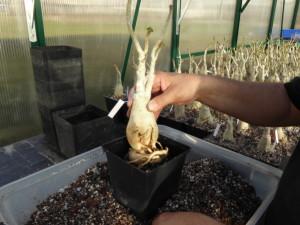 krukning av importplantor