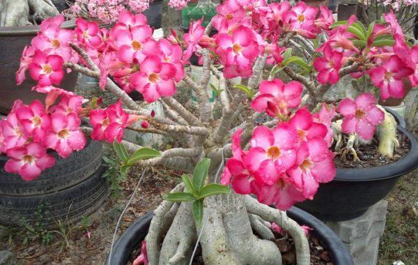 Storblommig Arabicum