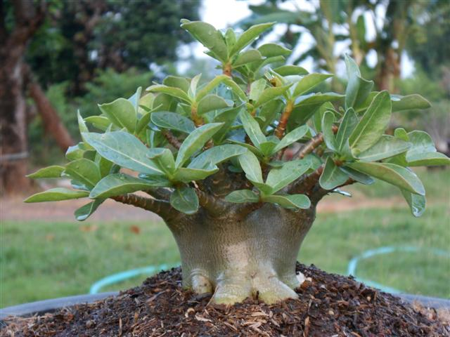 Fint utvecklad bonsai av Arabicum