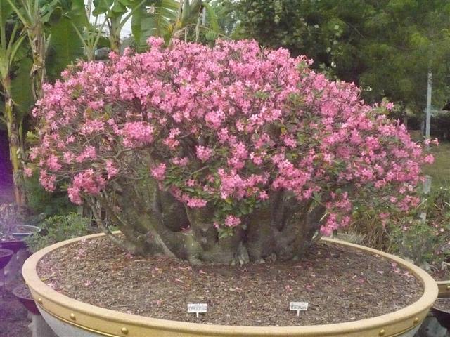 Stor planta av arabicum Pankorn