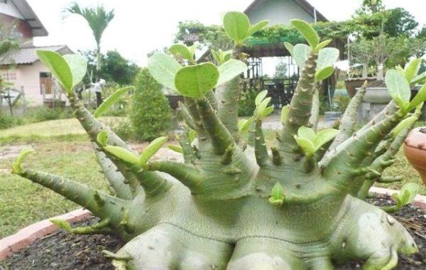 Kraftig bonsai av Arabicum PNW