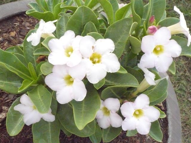Vitblommande Arabicum – sällsynt och vacker