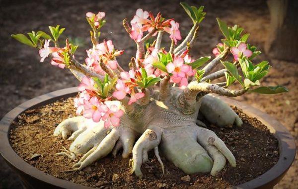 Arabicum – något för bonsaiälskaren?