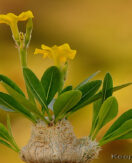 Pachypodium – THE caudiciform collectors plant
